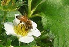 西洋蜜蜂の飼育